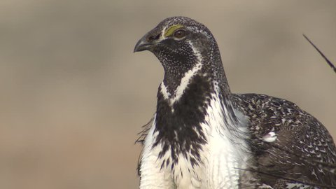 Sage Grouse Male Adult Lone in Spring in Wyoming