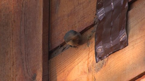 Red-breasted Nuthatch Adult Lone in Spring Damage House in South Dakota