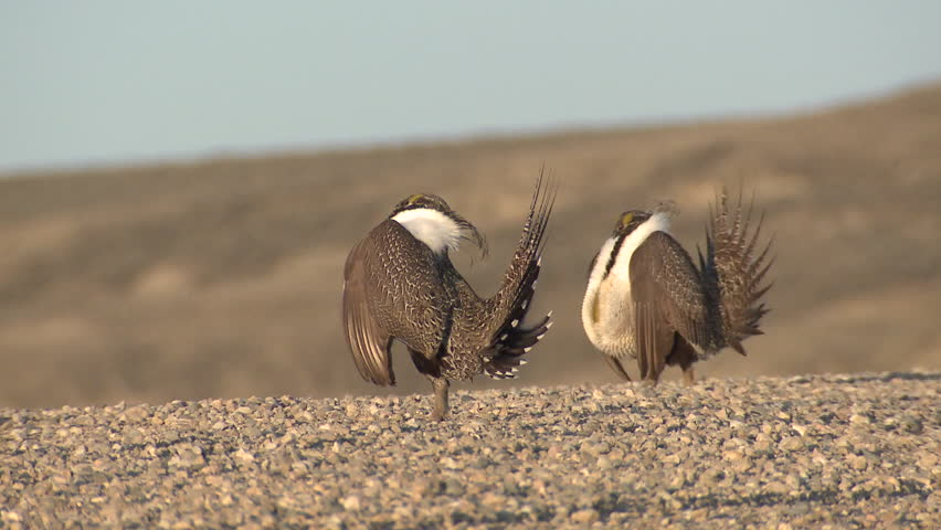 Sage Grouse Male Adult Pair Breeding in Spring Lek Display Booming Reproduction in Wyoming