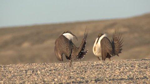 Sage Grouse Male Adult Pair Breeding in Spring Lek Display Booming Reproduction in Wyoming