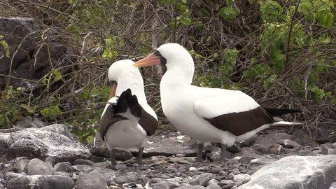 Nazca Booby Male Female Adult Pair in Fall Masked Courting in Ecuador
