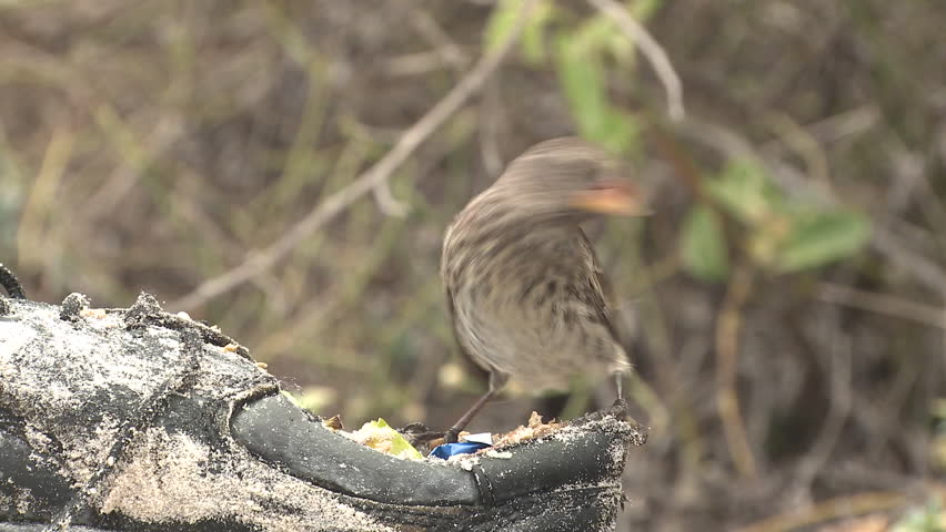 Finch Female Lone Eating in Fall Santa Cruz Island in Ecuador