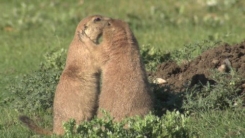 Black-tailed Prairie Dog Pair Standing in Summer Kissing Affection Hugging in Colorado