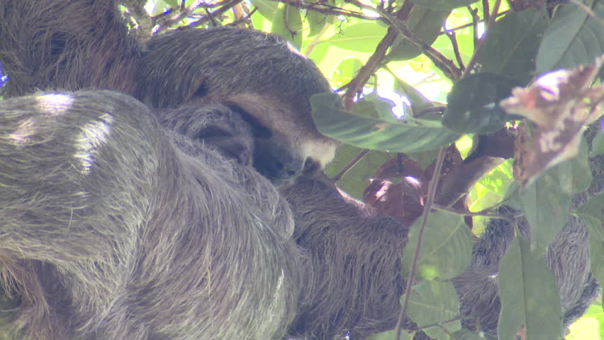 Brown-throated Sloth Female Adult Young Family Sleeping Resting in Costa Rica | Shutterstock HD Video #1011635006