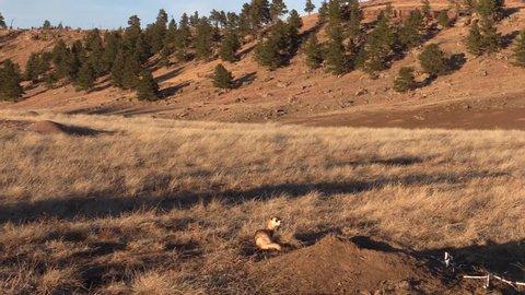 Black-footed Ferret Lone in Fall Emerging Burrow in South Dakota