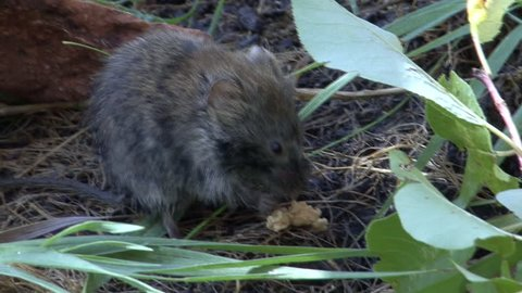 Long-tailed Vole Adult Lone Eating in Fall in South Dakota