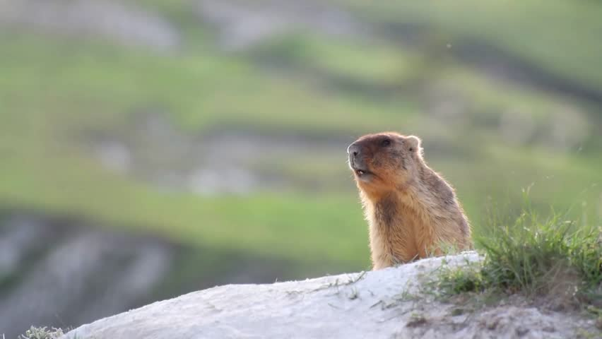 Wild marmots in steppe near his hole. Shout warns of dangers