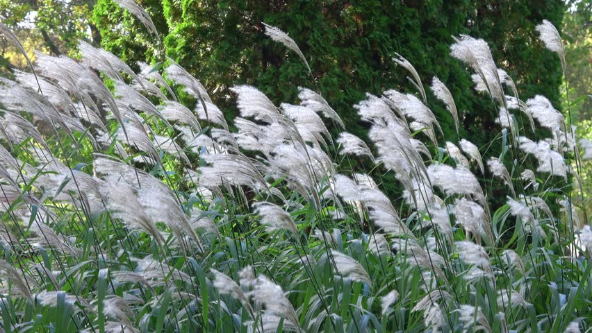 White feathery grass blowing in the wind. Wide view