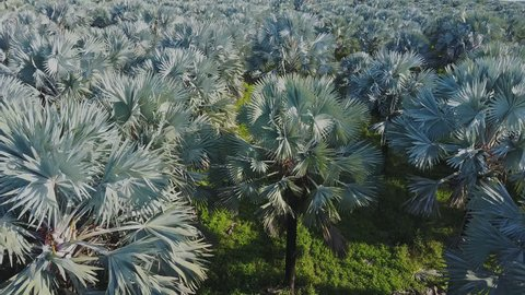 A 4K drone view of a palm plantation farm in Southern Florida.
