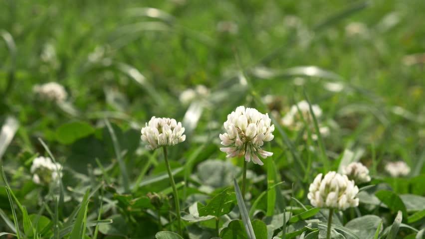White clover flowers field. Clover field in the garden in the wind. 4k,