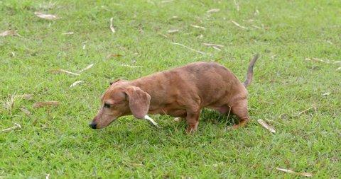 Female Dachshund dog pee at the park