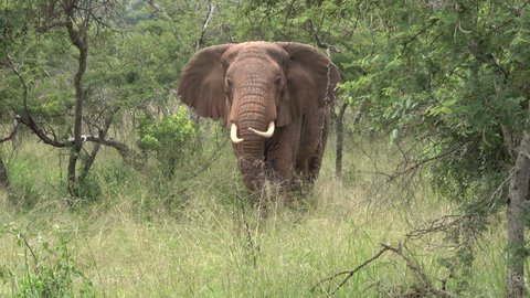 African Elephant Bull very funny, shows what he is thinking about Human. like a male Dog. At the end of the footage. he was never in together with humans, don't know who show him this.Rwanda, Africa