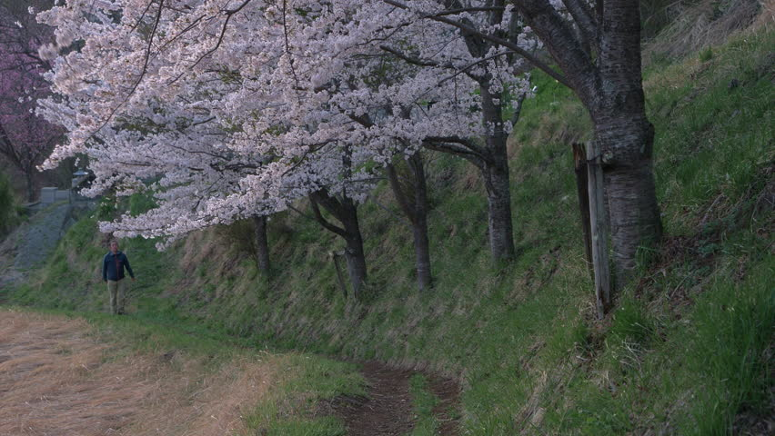 A Man Walking Up a Footpath as Cherry Blossoms Swaying in the Wind | Shutterstock HD Video #1011861476