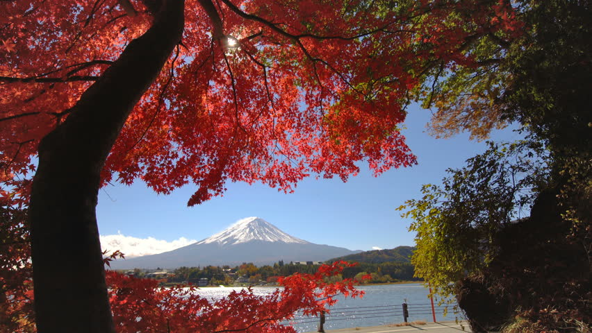 Colorful Autumn in Mount Fuji, Japan - Lake Kawaguchiko is one of the best places in Japan to enjoy Mount Fuji scenery of maple leaves changing color giving image of those leaves framing Mount Fuji. | Shutterstock HD Video #1011879626