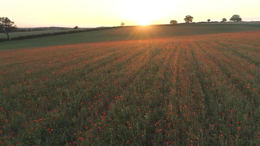 Sunset Over Poppy Fields in Summer
