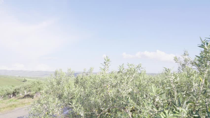 Olive trees in the Sicilian countryside, belice valley   Shutterstock HD Video #1011925496