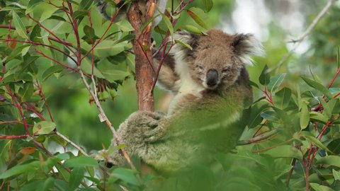 Koala - Phascolarctos cinereus on the tree in Australia, eating, climbing on eucaluptus. Adult and young child.