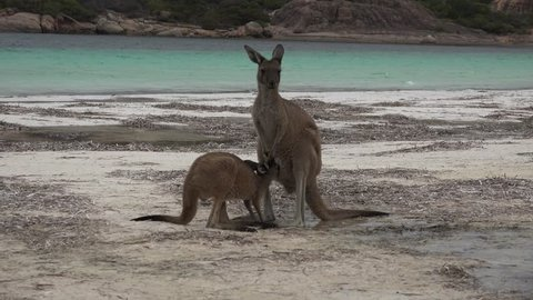 Kangaroo baby drinking milk from female pouch standing on white beach