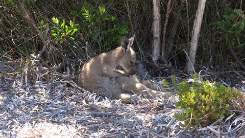 Kangaroo lay in bush on a sunny day cleaning fur and smell the air and lay down