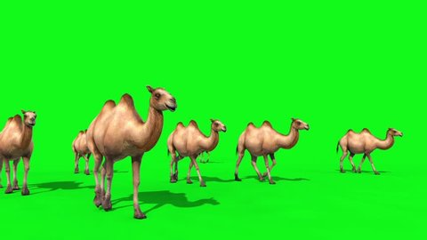 Group of Camels Walks Green Screen Front 3D Renderings Animations