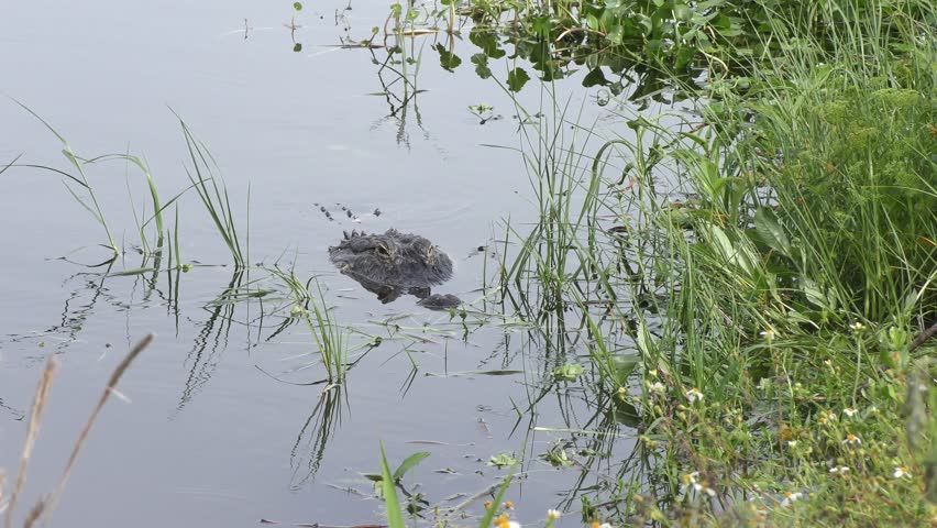 Large American alligator jumps after fish