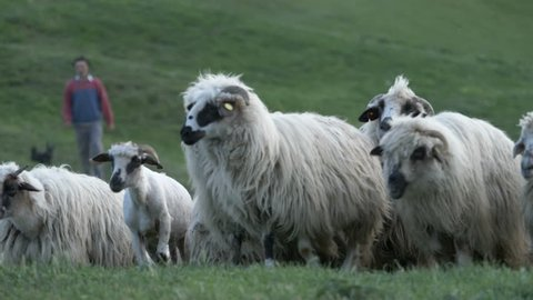 Herd of sheep get in sheepfold