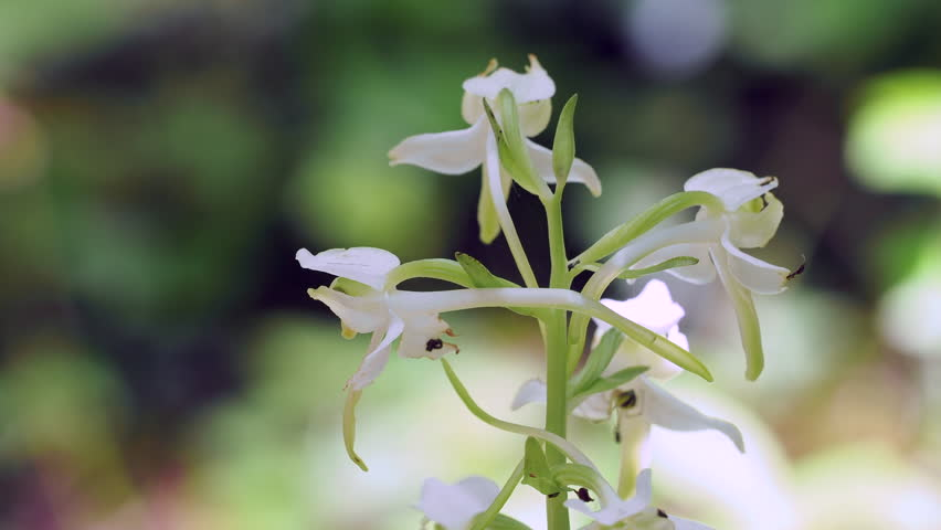 Greater butterfly-orchid ( Platanthera bifolia ) flower