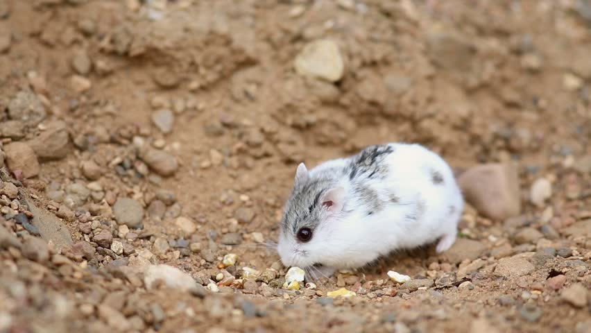 Djungarian hamster (Phodopus sungorus) looks for food on yellow sand. Dzungarian or striped dwarf or Siberian hamster, Siberian dwarf hamster or Russian winter white dwarf hamster