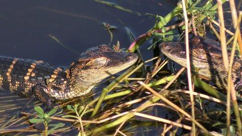 baby alligators sunning in a swamp