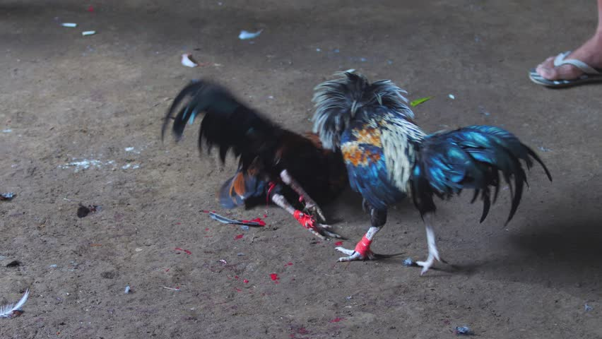Traditional bloody fight in Indonesia Bali, two cocks fighting on sandy arena until death with bright red spots of blood, one kill another with steel knife tied to its leg