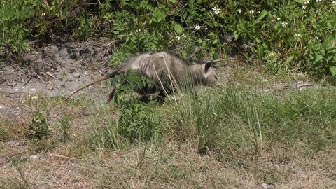 young opossum walks in Florida grassland