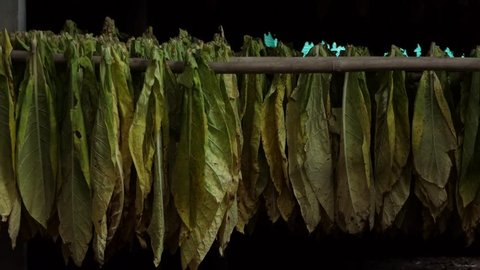 Farmer piling harvested tobacco leaves.4k