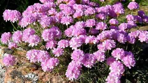 Close up of thrift (Armeria maritima) in the wind. Plant is also known as sea thrift or sea pink.