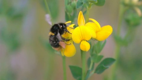 Bee BumbleBee Flying on Yellow Flowers with  many Pollen