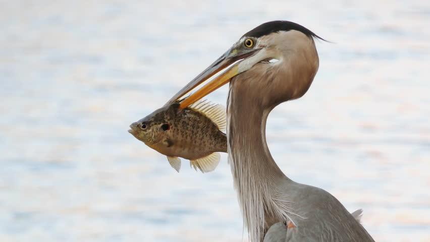 Great Blue Heron (Ardea herodias) tropical bird feeding on fish close up. Florida, USA | Shutterstock HD Video #1012229816