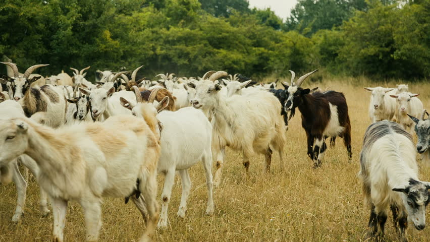 Goat herd walking and grazing on a meadow