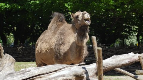 portrait of chewing camel, expressive herbivorous animal shows his jaws with huge teeth in zoo
