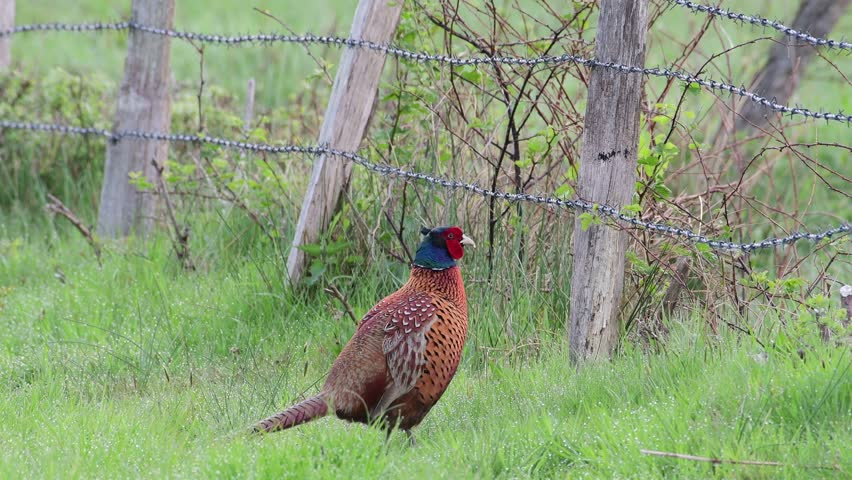 Pheasant cock at courtship display in the meadow, spring, (phasianus colchicus)