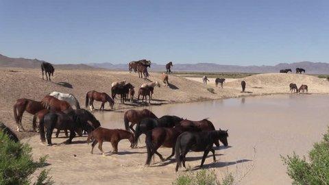 Wild Horses at a Waterhole in the Utah Desert