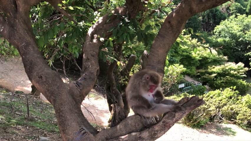 Snow monkey on a tree in Monkey Park in Kyoto   Shutterstock HD Video #1012403336