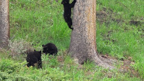 3 Black bear cubs exploring the forest as one climbs a tree with ease.