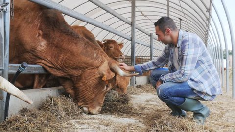 portrait of handsome farmer in livestock small breeding husbandry farming production taking care of limousin cow and cattle