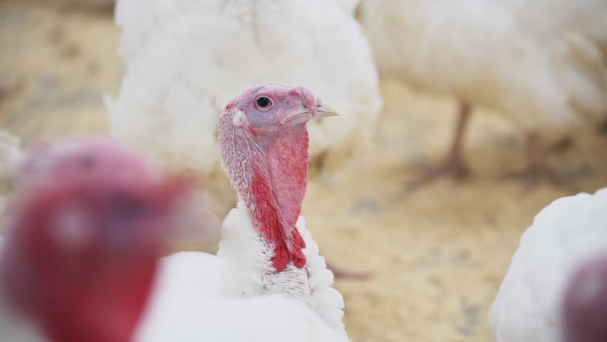 Young white turkey with coral and appendage looks around room with fillings at poultry farm | Shutterstock HD Video #1012466906