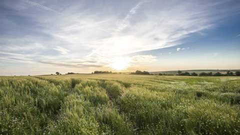 Lovely Sunset Video Time Lapse of a Green Wheat Field and Daisy Flowers with Magnicifent Sky