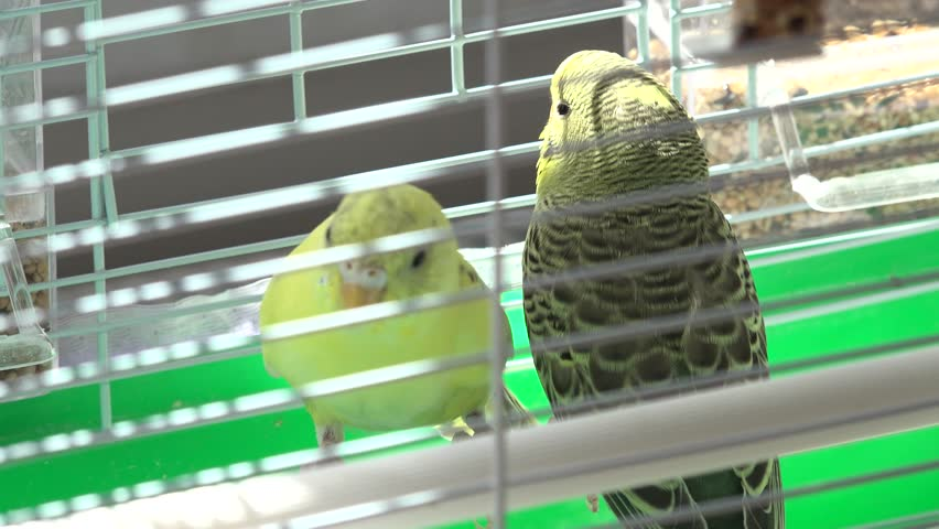 Domestic Budgerigars, Birds in Cages  Stock Footage Video (100%  Royalty-free) 1012564466 | Shutterstock
