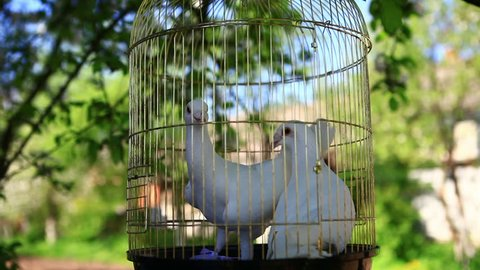 White pigeons sit in a cage. Two white birds want to fly out to freedom. Wedding pigeons will soon be released by the bride and groom.
