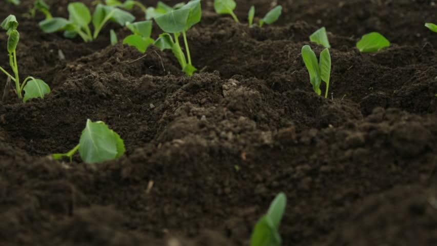 Cabbage saplings in garden fresh beds | Shutterstock HD Video #1012772006