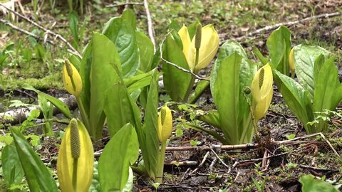 Western Skunk Cabbage (Lysichiton americanus) in a red alder grove, Olympic National Park, Washington, USA