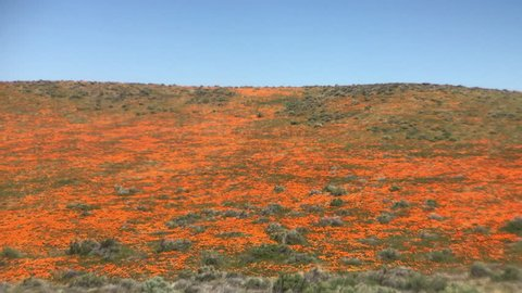Huge field of orange California poppies blowing in the wind, Antelope Valley California Poppy Reserve, USA