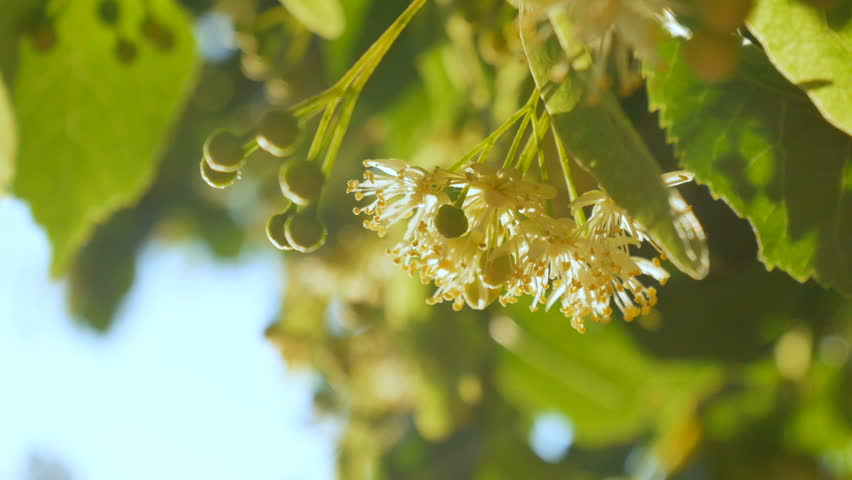 linden tree in blossom, linden flowers closeup